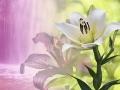 Magische Lilien