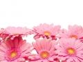 Gerbera,Blumenhintergrund