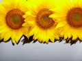 Three sunflowers with copyspase