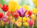 tulips blooming in springtime