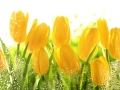 Yellow tulips with water drops