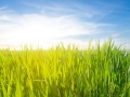 green field in a rays of sun