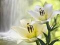 Weiße Lilien vor einem Wasserfall