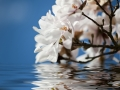 Magnolia flowers in the water