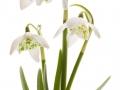 Snowdrop- spring white flower (Galanthus nivalis)