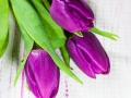 Purple tulips - Lila Tulpen