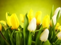 Yellow and white  tulips isolated on green background