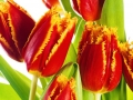 Red tulip with petals fringed by yellow. Isolated over white bac