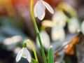 snowdrop flower in morning dew, soft focus
