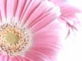 close up of pink gerber flower