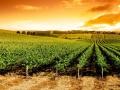 Sunset Vineyard Panorama