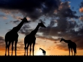 herd of giraffes in the setting sun