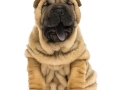 Front view of a Shar pei puppy, open mouth, yawning