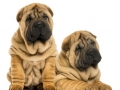 Two Shar pei puppies sitting and lying next to each other