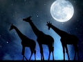 herd of giraffes in the night sky with moon