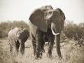 Elefanti nel Masai Mara