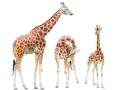 The giraffe (Giraffa camelopardalis).