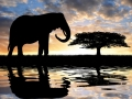 Silhouette  elephant in the sunset