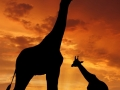 Two giraffes in the sunset