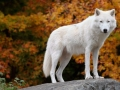 Arctic Wolf Looking at the Camera on a Fall Day