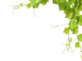 Collage of vine leaves