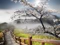 Sakura postcard for adv or others purpose use