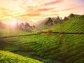 Tea plantation in Munnar