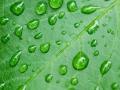 droplets on leaf - shallow focus